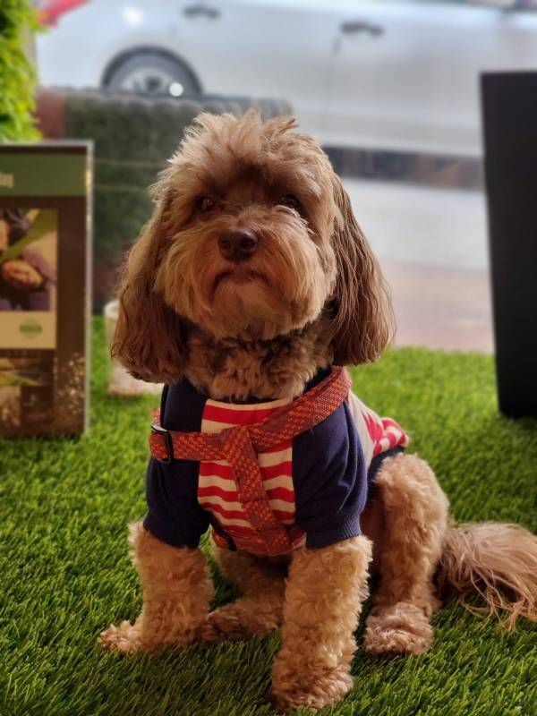 Louis sitting nicely on SYNLawn New York artificial pet turf